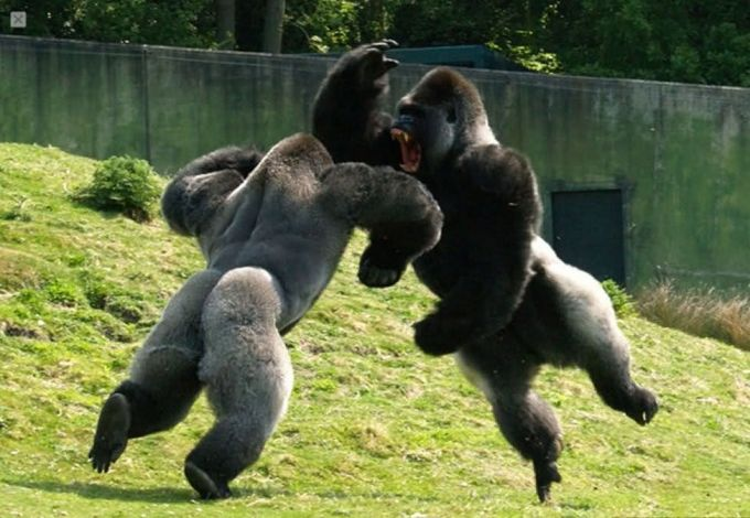 Самка обезьяны пинает самца в просьбе секса ютуб